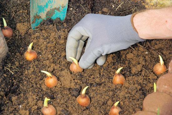 Φυτεύουμε τουλίπες σε παρτέρια