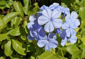 Πλουμπάγκο ή μπλε γιασεμί