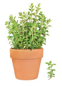ρίγανη, αρωματικό φυτό, βότανο