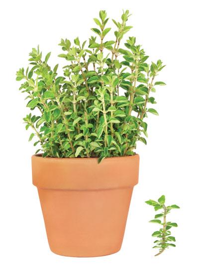 ρίγανη, αρωματικό φυτό