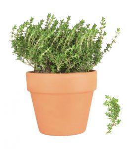θυμάρι, αρωματικό φυτό, βότανο