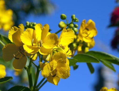 Κάσσια, θάμνος με κίτρινα λουλούδια