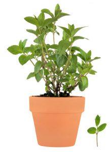 βασιλικός, αρωματικό φυτό, βότανο