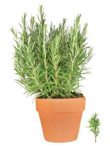 δενδρολίβανο, αρωματικό φυτό, βότανο
