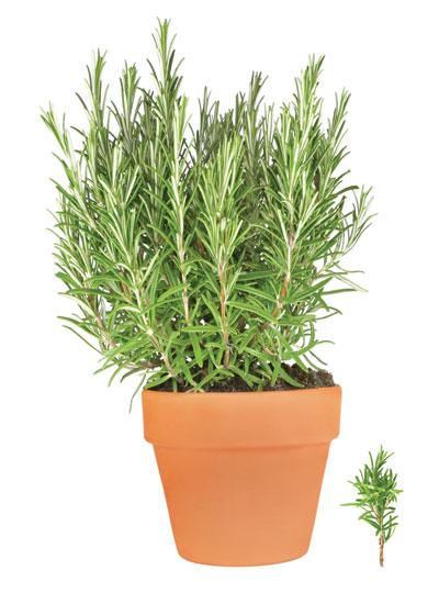 δενδρολίβανο, αρωματικό φυτό