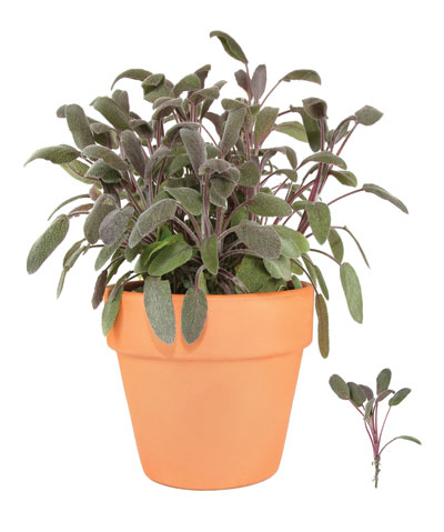 φασκόμηλο, αρωματικό φυτό και βότανο