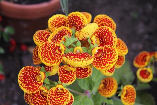 καλσεολάρια - Calceolaria crenatiflora, Scrophulariaceae
