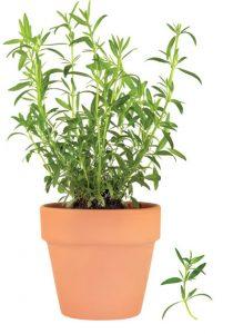 λεβάντα αρωματικό φυτό, βότανο