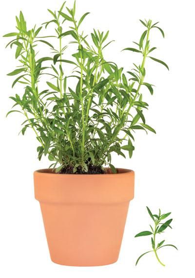 λεβάντα αρωματικό φυτό