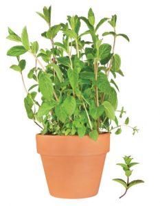 μέντα, αρωματικό φυτό, βότανο