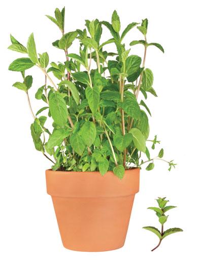 μέντα, αρωματικό φυτό