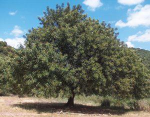 ceratonia siliqua - χαρουπιά