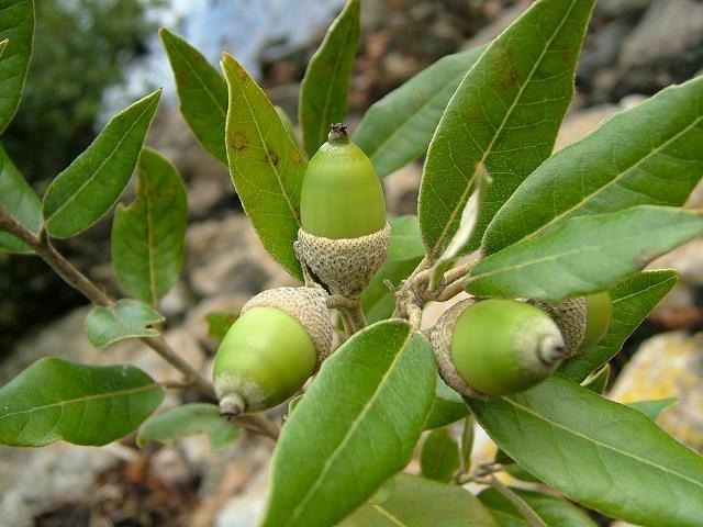 holm-oak-αριά-quercus ilex