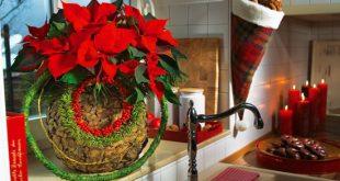 Αλεξανδρινό, το φυτό των Χριστουγέννων