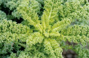 λαχανίδα - kale