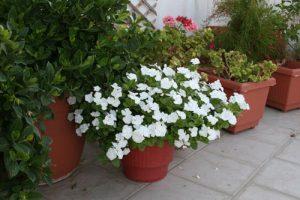 βίνκα, δαφνούλα, catharanthus roseus