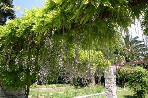 Γλυτσίνια, wisteria sinensis, Leguminosae