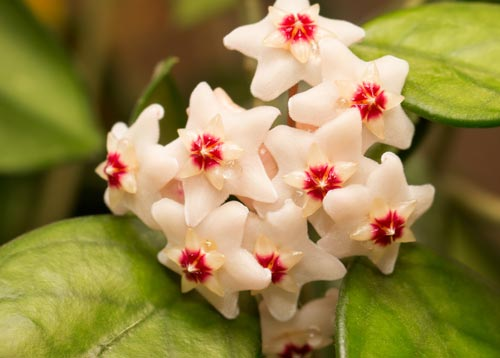 Χόγια - Λουλούδια του φυτού