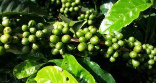 Κλαδί καφεόδενδρου, με χλωρούς καρπούς