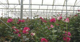 Υδροπονική καλλιέργεια τριαντάφυλλου