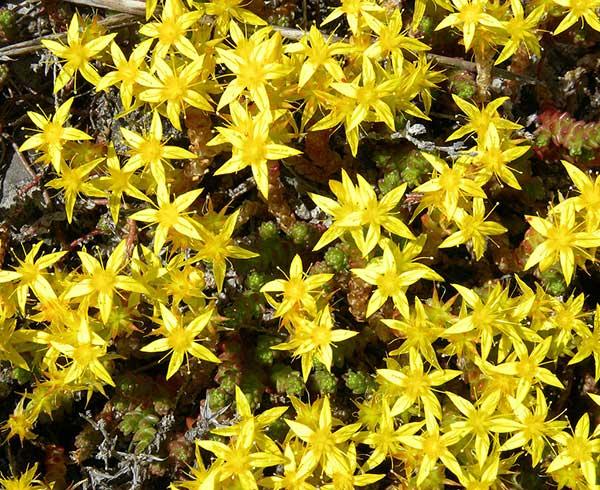 Αμάραντος Sedum acre, Crassulaceae
