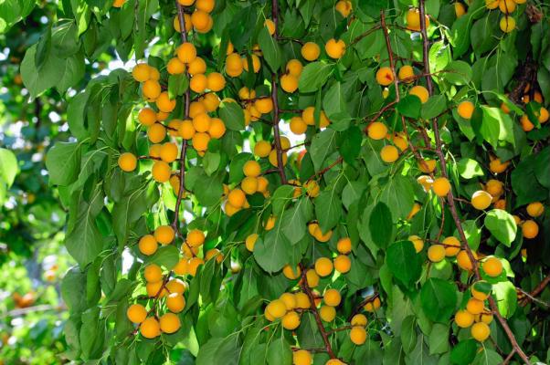δένδρο βερικοκιάς γεμάτο με βερίκοκα