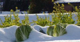 καλλιέργεια κινέζικου λάχανου στο χιόνι