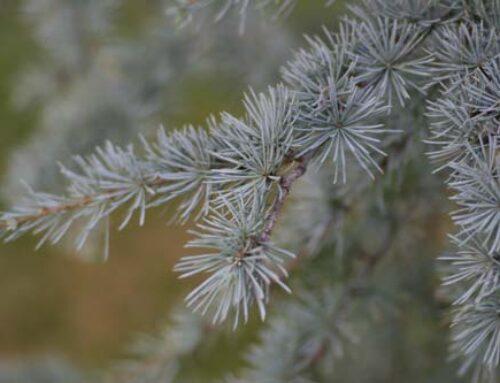 πικέα, Picea pungens, Pinaceae