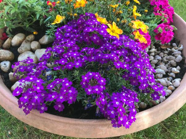 βερβένα σε γλάστρα με μωβ άνθη