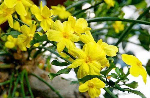 Κίτρινο γιασεμί