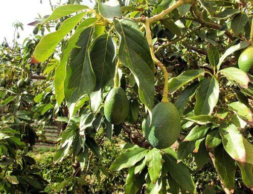 Η καλλιέργεια του αβοκάντο