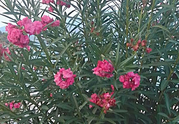 πικροδάφνη με φούξια άνθη