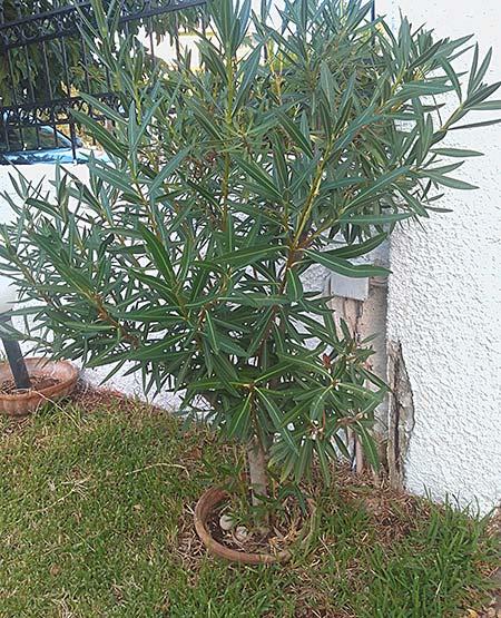 πικροδάφνη σε γλάστρα στον κήπο
