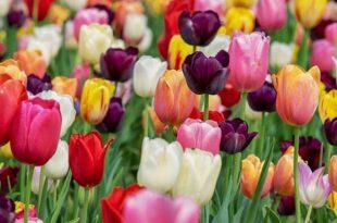 άνθη τουλίπας