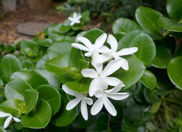 Καρίσα λουλούδι
