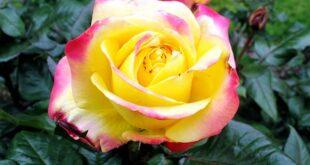 πορτοκαλί φούξια τριανταφυλλιά