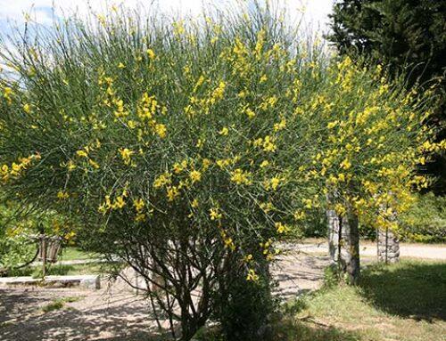 Σπάρτο για κίτρινα λουλούδια στον κήπο