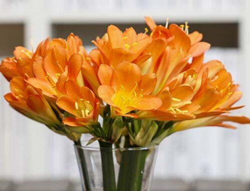 Κλίβια, φυτό εσωτερικού χώρου με υπέροχα λουλούδια!
