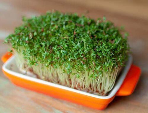 Microgreens: Τι είναι τα μικρολαχανικά και πως καλλιεργούνται