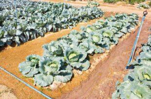Λάχανο σε λαχανόκηπο