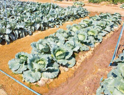 Σταυρανθή: προετοιμασία λαχανόκηπου για καλλιέργεια