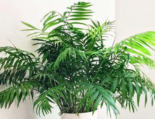 Χαμαιδώρεα, ιδανικό φυτό εσωτερικού χώρου