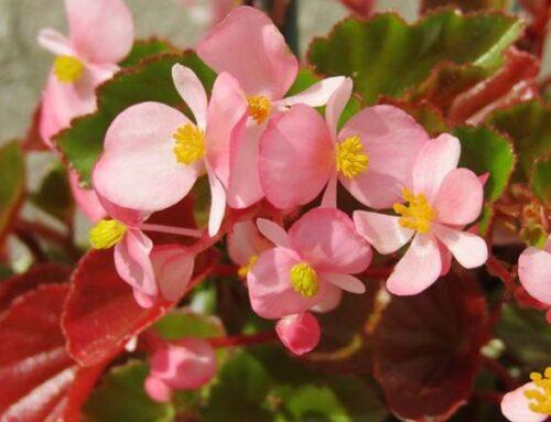 Βεγόνια ή μπιγκόνια, φυτό με λουλούδια που διαρκούν πολύ