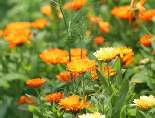 Καλέντουλα, μια νεράιδα του κήπου και της βεράντας