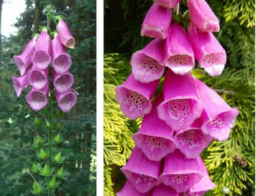 Ντιτζιτάλις ή Δακτυλίδη, ψηλό φυτό για πολύχρωμα παρτέρια