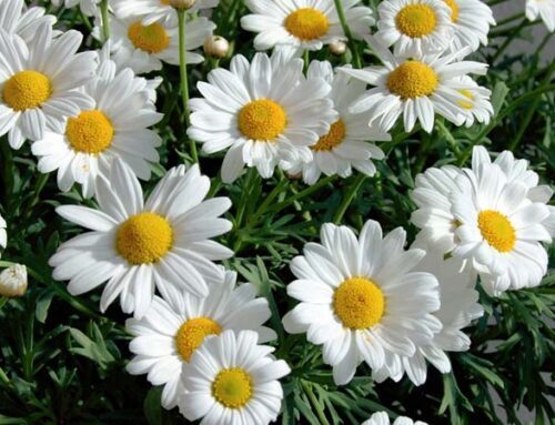 Λευκάνθεμο ή καλοκαιρινή μαργαρίτα στον κήπο και τη βεράντα
