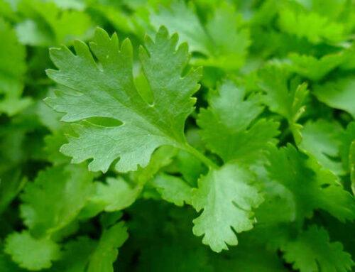 Μαϊντανός, πράσινο αρωματικό φυτό για φύτευση στο λαχανόκηπο