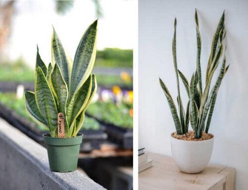 Σανσεβιέρια, φυτό εσωτερικού χώρου με χρήση στη διακόσμηση