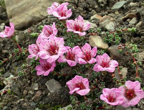 Σαξιφράγκα, φυτό σκιάς κατάλληλο σε βραχόκηπο