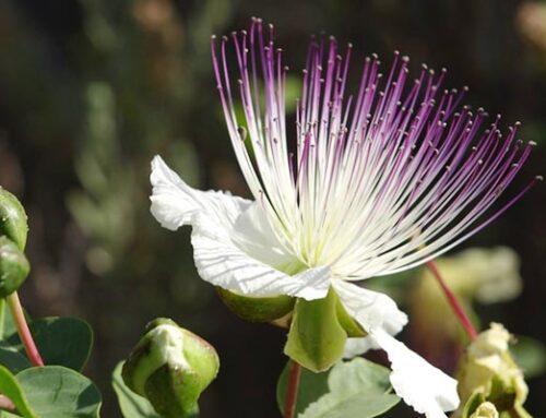 Κάπαρη, αρωματικός θάμνος με υπέροχα λουλούδια και καρπούς.